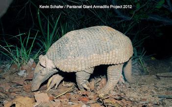 Photo: Giant armadillo Copyright Kevin Schafer