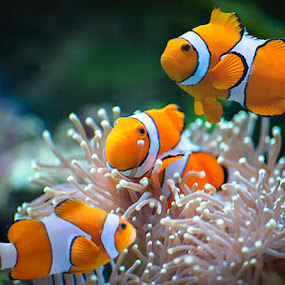 Clown Fish by Dennis Gaspersz - Animals Fish ( djgphoto )