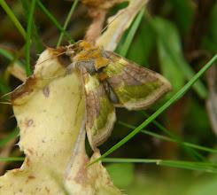 Photo: Koperuil (Diachrysia chrysitis)