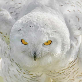Snowy Shake by Betty Arnold - Animals Birds ( bird, bird of prey, owl, snowy owl, animal,  )