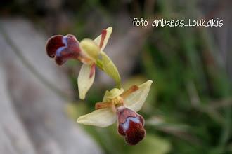 Photo: ΟΦΡΥΣ ΤΟΥ FLEISCHMANN ophrys fleischmannii ΚΑΛΑΜΑΥΚΑ