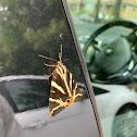 Jersy Tiger Moth