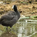 Coot - Red-knobbed Coot