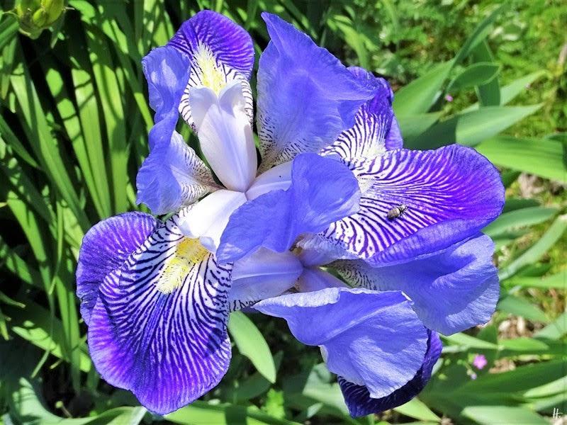 2019-05-18 LüchowSss Garten violette Bartiris (Iris barbata) + Sonnenspringspinne (Heliophanus spec.)