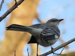 Photo: Northern mockingbird