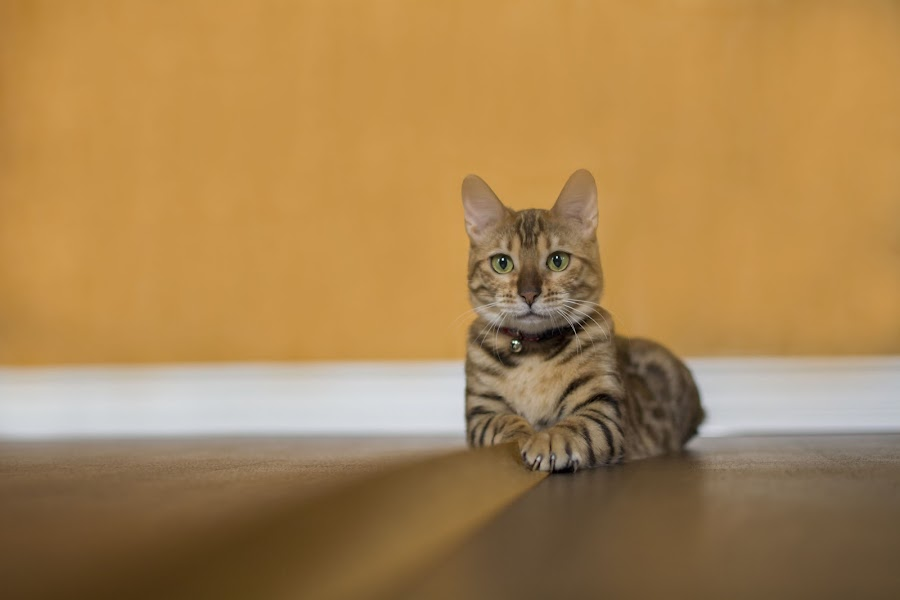 My Bengal by Marissa Frederick - Animals - Cats Playing ( playing, kitten, cat, gorgeous, bengal, eyes )