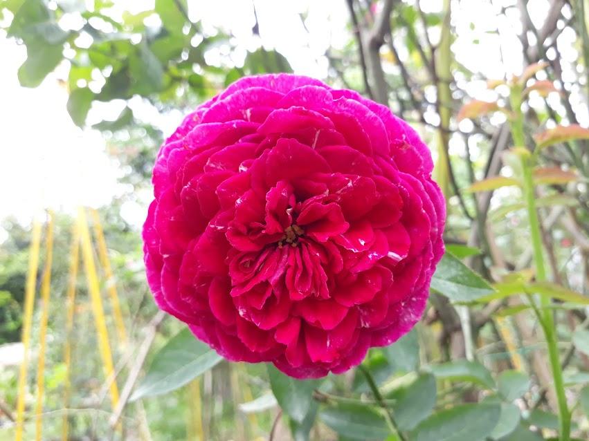 Form hoa hồng leo Falstaff rose đã đầy đặn hơn sau nhiều đợt hoa