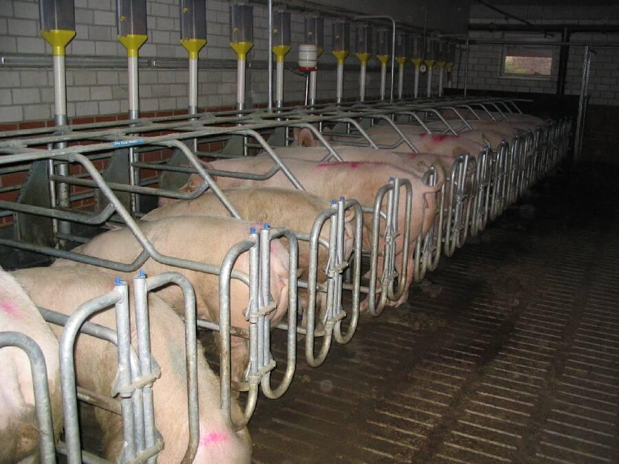 Rebanhos na Ásia foram severamente afetados pela peste suína