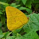 Large Orange Sulphur (male)