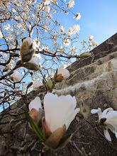 Photo: White tulip tree at Wegerzyn Gardens MetroPark in Dayton, Ohio.