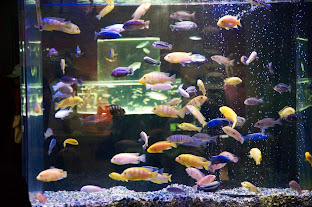 世界の熱帯淡水魚
