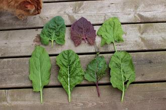 Photo: Clockwise, from top left: Orach, Purple Orach, Spinach, Beet green, Beet green, Chard, Sorrel