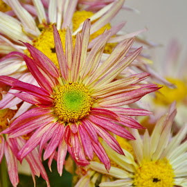 Chrysanthemum's Bloom by Arsalan Sandhila - Flowers Flower Arangements ( blossom, gardening, chrysanthemum, flora, flower )
