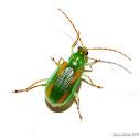 Diabrotica Leaf Beetle