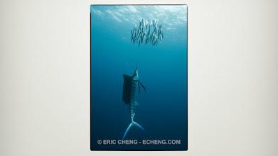 Photo: Sailfish and sardine bait balls: Isla Mujeres, Mexico