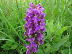 Photo: 3 Jul 13 Priorslee Lake: Had high hopes for this as the leaves were unspotted so what was it? Apparently just a Common Spotted Orchid (Dactylorhiza fuchsii) without spots! (Ed Wilson)