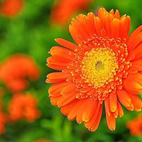 Gerbera by Ian Bismarkia - Flowers Flower Gardens (  )