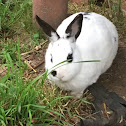 English spotted rabbit