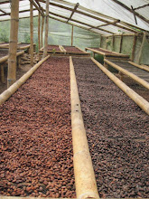Photo: Drying the delicious cacao beans