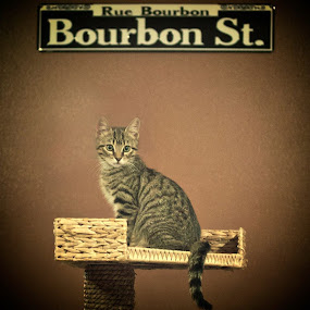 cajun cat by Brook Kornegay - Digital Art Animals ( bourbon street, new orleans, cat, kitten, feline, tabby,  )