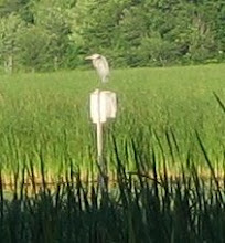 Photo: Great Blue Heron  6.19
