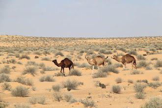 Photo: Our first sighting of camels in the wild
