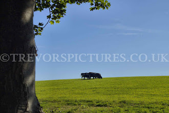 Photo: COWS IN THE  COTSWOLDS