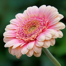 Pink Gerbera #7 by Jim Downey - Flowers Single Flower ( red, pink, green, yellow, gerbera )