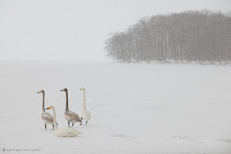 Photo: Swan's Attention