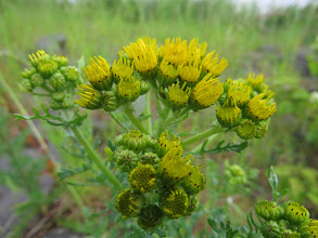 Photo: 30 Jun 13 Priorslee Lake: Here is a head of Ragwort (Senecio jacobaea, formerly Jacobaea vulgaris) flowers about to open. It is poisonous to horses (causes liver failure) and won't do you much good either. Will soon be invaded by Cinnabar caterpillars with their yellow and black rugby-shirt hoops – these are able to break down the toxins but in so doing become distasteful to birds and other potential predators. (Ed Wilson)