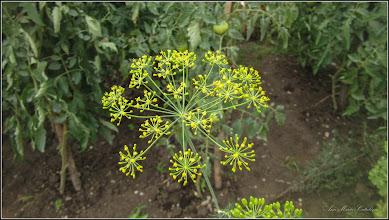 Photo: Mărar (Anethum graveolens) - din Turda, Calea Victoriei, o curte - 2019.07.15