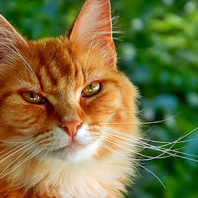 Dizzy Izzy by James Cole - Animals - Cats Portraits