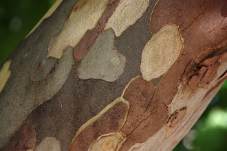 Photo: Year 2 Day 227 -  Beautiful Tree Bark