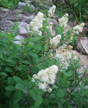Photo: Meadowsweet, 6.19