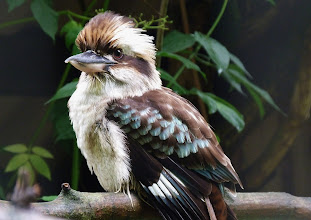 Photo: Lachender Hans (Dacelo gigas) 2 Nationalvogel Australiens