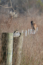 Photo: flycatcher and barred owl photo by Chris Adams