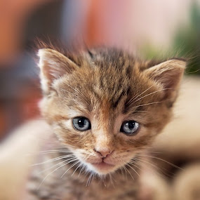 by Brook Kornegay - Animals - Cats Kittens ( cat, kitten, baby, feline, tabby )