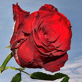red rose by LADOCKi Elvira - Flowers Single Flower (  )