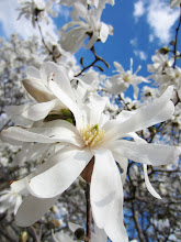 Photo: White magnolias under a blue sky at Cox Arboretum in Dayton, Ohio.