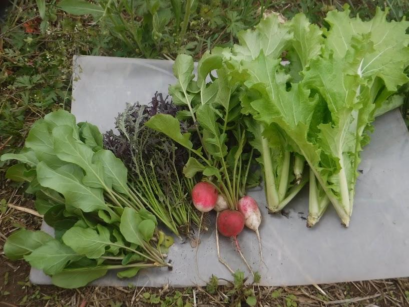 左から、ルッコラ、赤リアスからし菜、ラディッシュ、山東菜。これでサラダがつくれますよ。