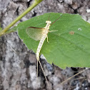 Giant mayfly