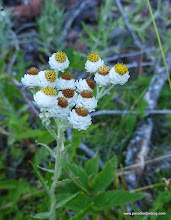 Photo: Pearly Everlasting, one of our most common late-season wildflowers