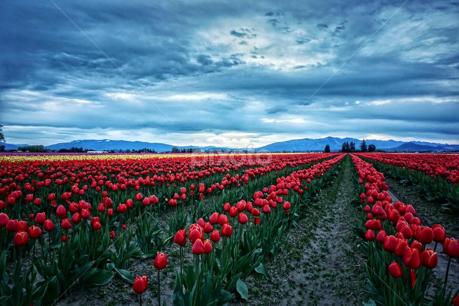 Skagit Valley  by Todd Reynolds - Flowers Flower Gardens ( field, tulip, morning, landscape )
