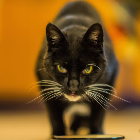 Uncle Spook at dinner. by Shawn Crowley - Animals - Cats Portraits