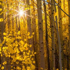 Autumn Aspens by Mike Lee - Landscapes Forests ( forest, sunburst, warm light, yellow, autumn color, aspen, aspen grove, fall color, sun, gold, warm, fall, golden, autumn,  )