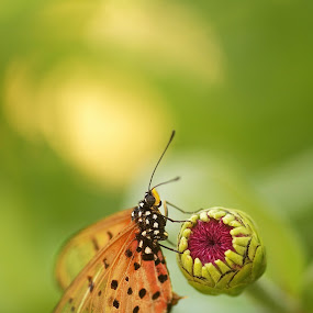 Butterfly by Chrismari Van Der Westhuizen - Animals Insects & Spiders ( butterfly, orange, macro, zinnia, green, garden, flower )