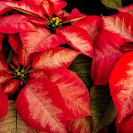 Poinsettias by Greg Bennett - Flowers Flower Arangements ( poinsettia, red, green, christmas, flowers, poinsettias, Christmas, card, Santa, Santa Claus, holiday, holidays, season, Advent )