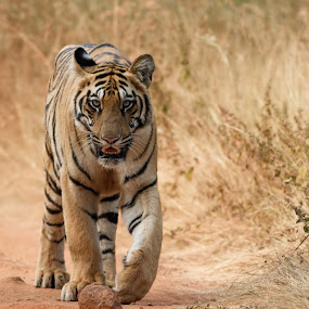 head on by Saumitra Shukla - Animals Lions, Tigers & Big Cats ( wild, animals, tiger, color, rare, wildlife, bengal tiger, travel, yellow, stripes, travel photography, mammal, animal )