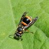 Potter Wasp/Mason Wasp