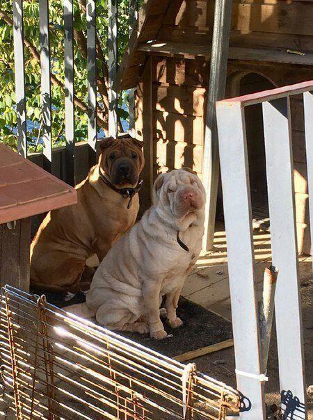 gdragon sharpei dogs 2